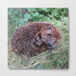 Erinaceidae,small hedgehog, wild living, sleeping in the grass Metal Print