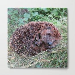 Erinaceidae,small hedgehog, wild living, sleeping in the grass Metal Print