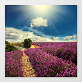 Beautiful image of lavender field Canvas Print