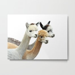 Alpaca Trio Metal Print