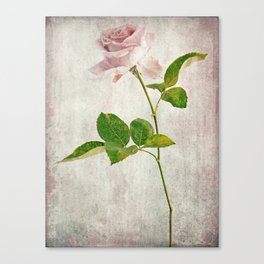English Tea Rose  Canvas Print