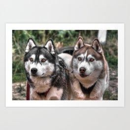 Siberian Huskys Art Print