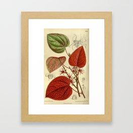 Disanthus cercidifolia/Disanthus cercidifolius, Hamamelidaceae Framed Art Print