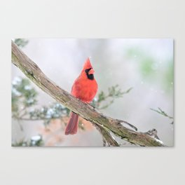 """Say What?"" (Northern Cardinal) Canvas Print"