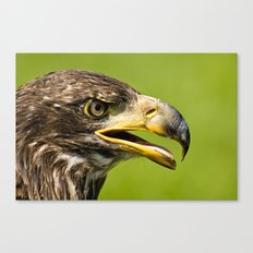Bald Eagle - juvenile Canvas Print