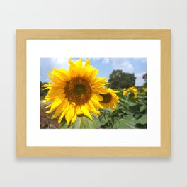 sunflower photography Framed Art Print