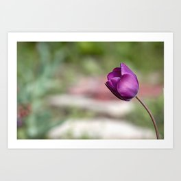 Not afraid to be alone, wild purple tulip flower all alone in the garden Art Print