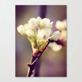 Pear Tree Blooming Canvas Print