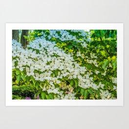 White Trillium grandiflorum Art Print
