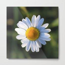 Chamomile flower Metal Print