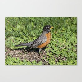 American Robin in the Grass - Photography Canvas Print