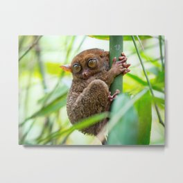 Tarsier on the island of Bohol in the Philippines | Travel photography Asia Metal Print