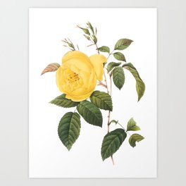 Botanical Print, Yellow Roses, Rosa Sulfurea Art Print
