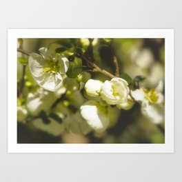White Quince Art Print