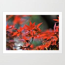 Scarlet Japanese Maple Leaves Art Print