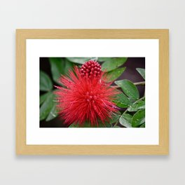Powderpuff Plant Framed Art Print
