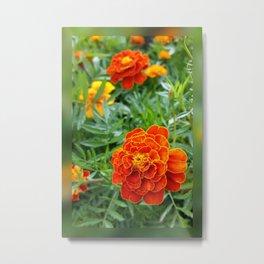 colors of marigolds Metal Print