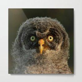 Baby great gray owl Metal Print
