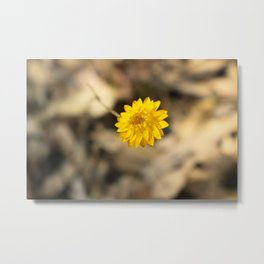 Golden Strawflower Metal Print