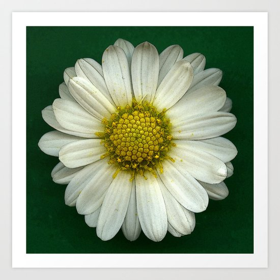 Single White Chrysanthemum Art Print