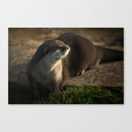 Otter Looking Into The Sunshine Canvas Print
