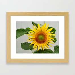 Sunflower Helianthis Occidentalis Framed Art Print