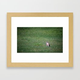 An American Kestrel Falcon catches an earthworm as big as its body for a meal Framed Art Print