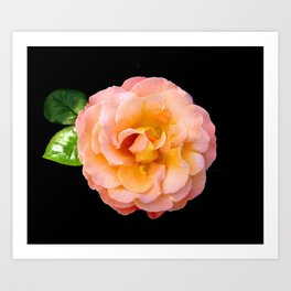 Orange ,Rosa Rose Art Print