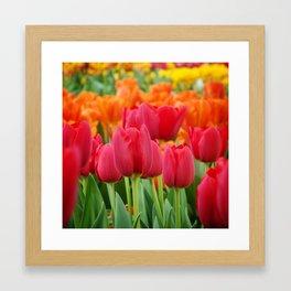 Colourful Tulips Framed Art Print