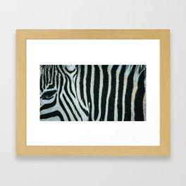 Zebra spotted in Knysna Elephant Park, South Africa Framed Art Print