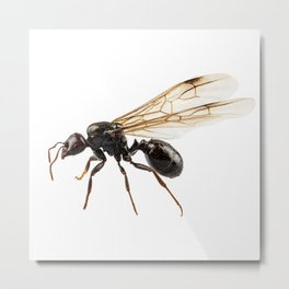 Black Winged garden ant species lasius niger Metal Print