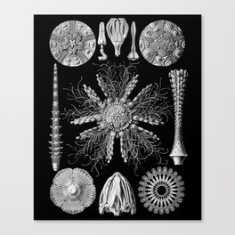 Sand Dollars (Echinidea) by Ernst Haeckel Canvas Print