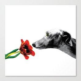 Italian Greyhound smelling flower Canvas Print