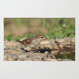 Young sparrow at watter Rug