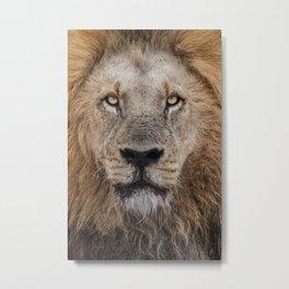 Male Lion photo 2 Metal Print