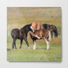 Gypsy Vanner Foals 0371 - Colorado Metal Print