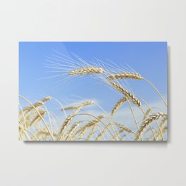 Ripe ears of golden color against the blue sky Metal Print