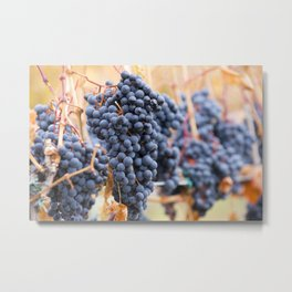 Ripe Shiraz Grapes On The Vine Metal Print
