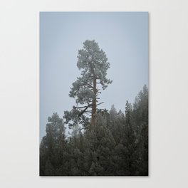 Ponderosa Pine In The Mist Canvas Print