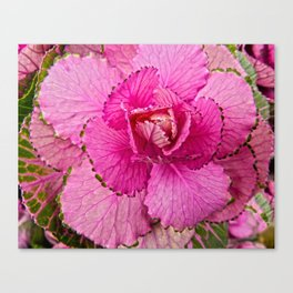 Ornimental Cabbage Canvas Print