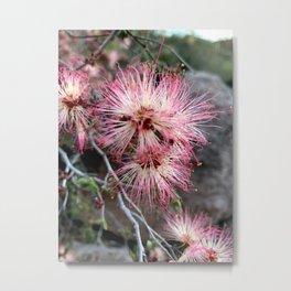 Fairy Duster Desert Blooms Metal Print