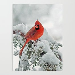 Cardinal on a Snowy Branch Poster