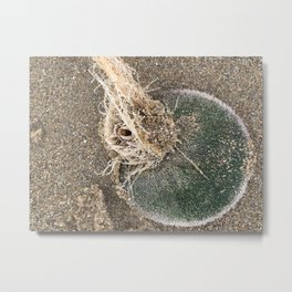 Live Sand Dollar - Pismo Beach, California Metal Print