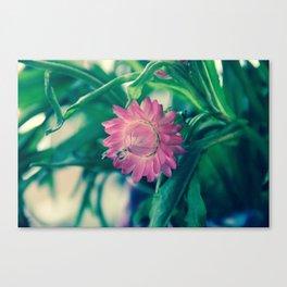 Pink Strawflower Canvas Print