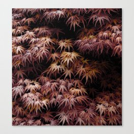 Japanese Maple, Acer Palmatum Seigen Canvas Print