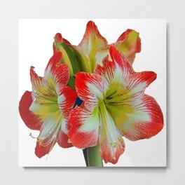 LARGE RED-WHITE AMARYLLIS FLOWERS ON WHITE Metal Print
