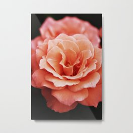Apricot Blush Rose Metal Print