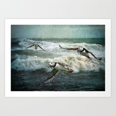 Puffins Returning From The Sea. Art Print