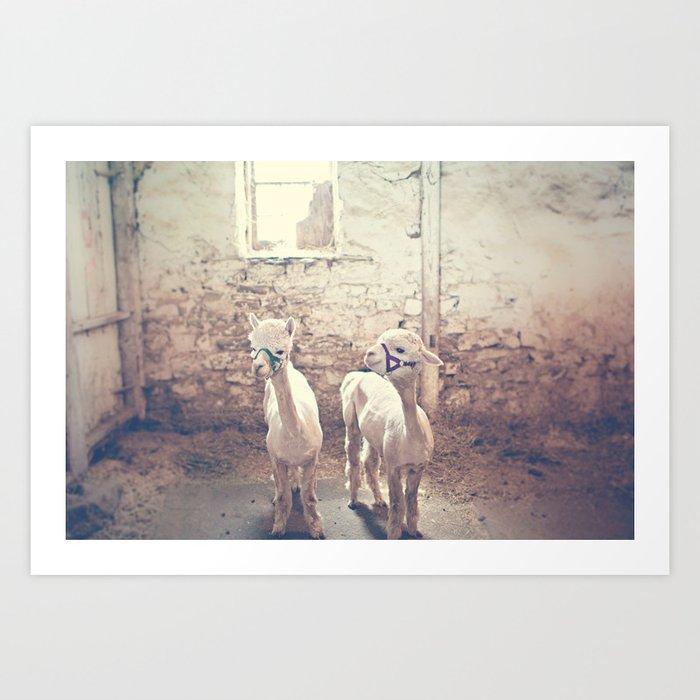 Young Alpacas  Art Print