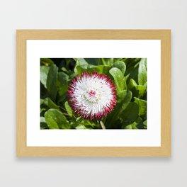 English Daisy Framed Art Print